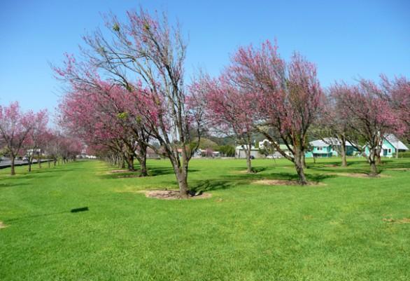 Big Island Cherry Blossom Festival