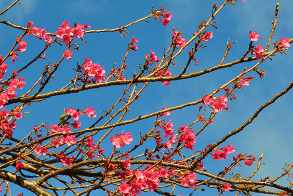 Waimea cherry blossoms
