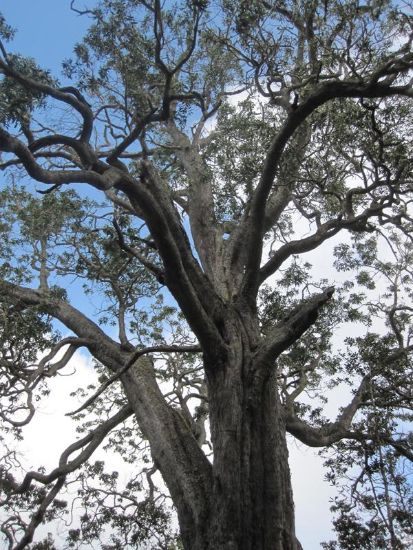 Koa Trees Big Island